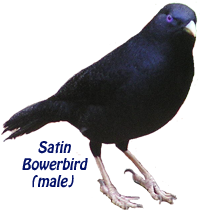 Satin Bowerbird (male)